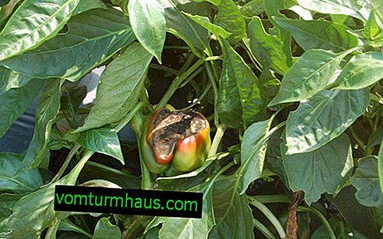 Proč paprika vadne a smršťuje se?