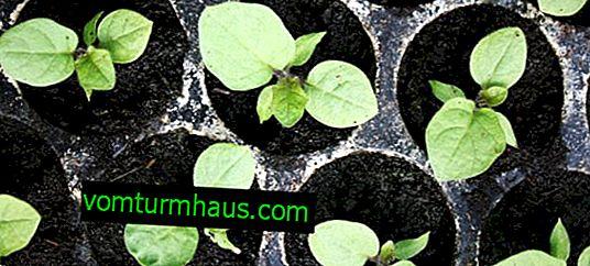 Anpflanzen von Auberginensämlingen: Anbau und Pflege