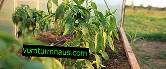 Warum Paprika schlecht blühen und gebunden sind