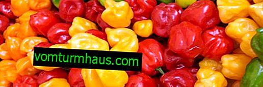 Cultivo de pimenta Habanero em casa