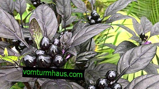Svartpeppar dekorativ peppar: funktioner i odling och vård