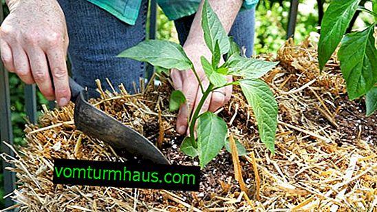 Hvad man skal plante efter peber næste år