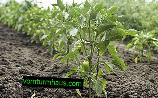 Pepparsnöfall: funktioner för odling och vård