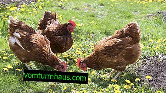 Perché le galline hanno smesso di deporre le uova in autunno?