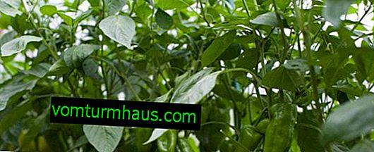 Hur behandlar man fusariumvällande peppar?