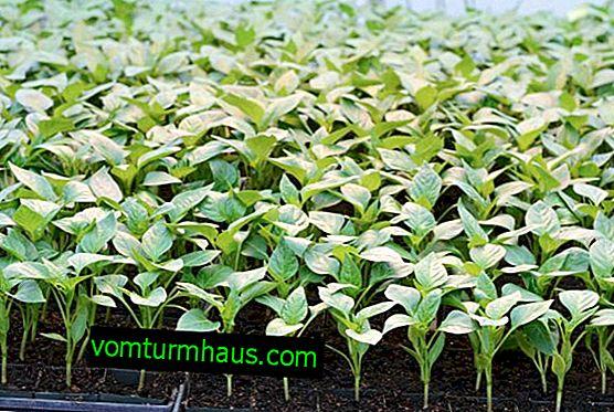 Comment traiter les maladies des plants de poivrons