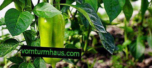 Sådan klemmes peberfrugter i et drivhus