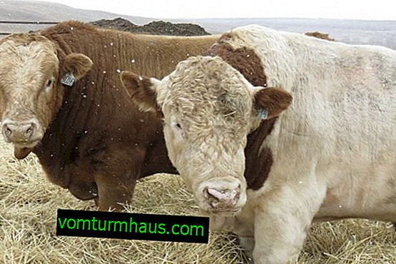 Simmental cattle breed: description, care and feeding