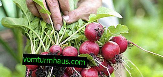 Najlepsze odmiany rzodkiewki do uprawy w sierpniu