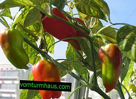 Značajke uzgoja papra na prozorskoj dasci
