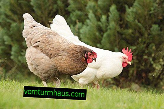 Est-il possible de donner de la levure de poulet?