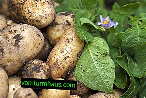 Как да се справим с картофените заболявания
