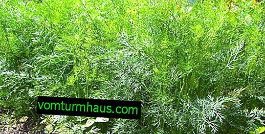 Hur man planterar och tar hand om buskdill?