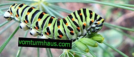 Hur man hanterar dill larver