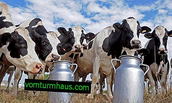 Zakaj ima krava soljeno mleko: vzroki in rešitve
