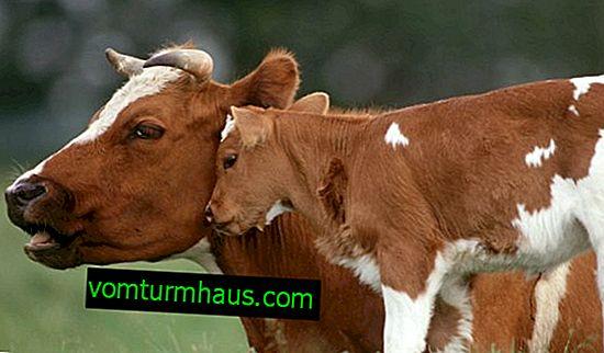 Hvor meget en ko bærer en kalv