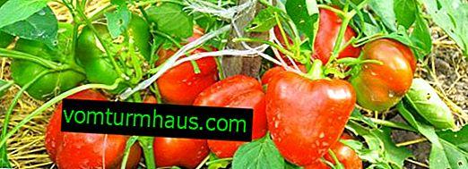 Pepper Kolobok: beskrivning, jordbruksodling