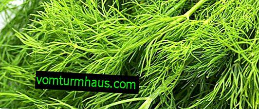 Variétés d'aneth sur les verts sans parapluies