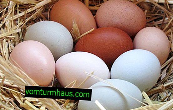 Catégories d'œufs de poule: leur classification et leurs caractéristiques