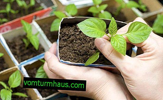 Hvad og hvordan man korrekt fodrer peberfrøplanter