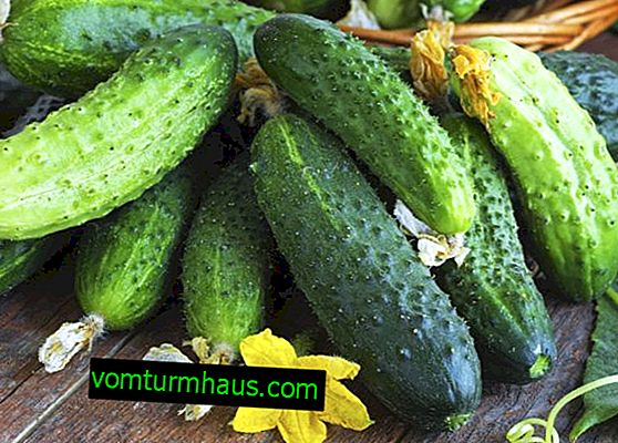 Ortalama salatalık verimi ve en iyi çeşitlerin özellikleri