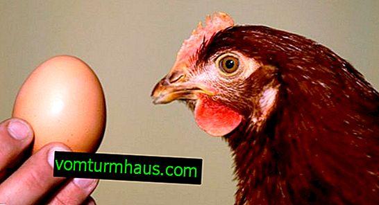 Perché i polli non si affrettano: cause e metodi per risolvere il problema