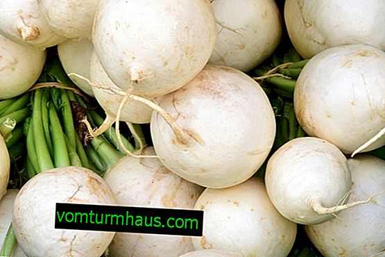 Is radish and turnip the same thing or not?