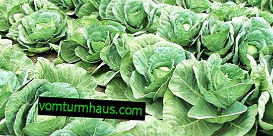 Aggressore di cavolo: descrizione e caratteristiche della varietà, caratteristiche di conservazione del raccolto