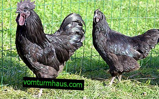 Uheiliuy: opis pasme piščancev, njihovo vzdrževanje in nega