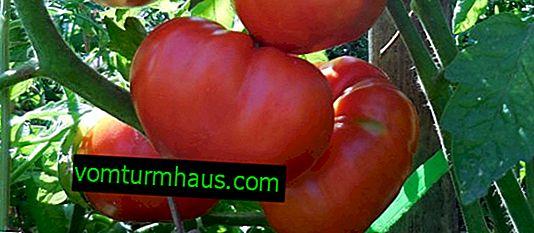 Tomato Giant Novikova: charakteristika a popis odrůdy
