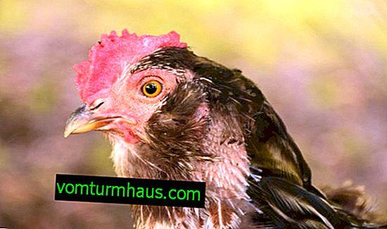 Malattia dell'occhio di pollo: sintomi e trattamento
