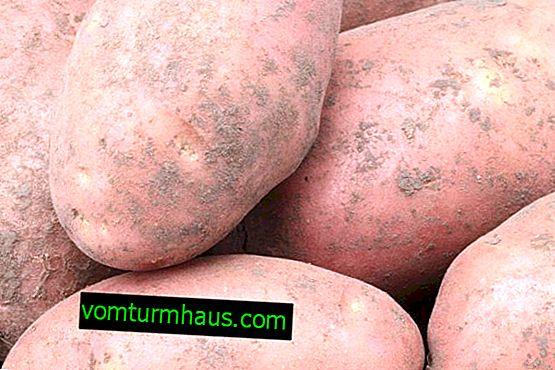 Kartoffelsorten Lapot: Sortenmerkmale und Anbaumethoden
