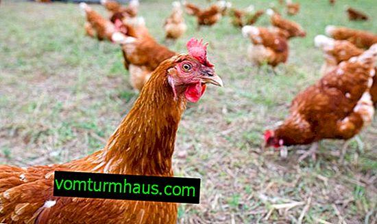 Perché i polli si beccano a vicenda al sangue e cosa fare