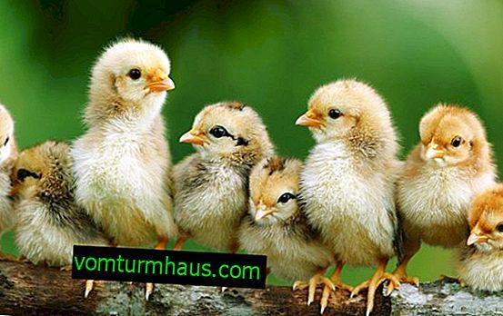Правилният режим на отопление за пилета, използващи топлинни лампи