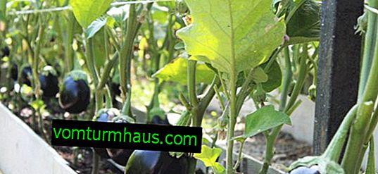 Comment planter des aubergines: les subtilités des soins, le choix des variétés
