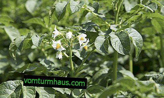 Kartoffelsort Vega: egenskaber og beskrivelse af sorten