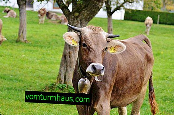 Vacunación del ganado: esquemas y recomendaciones.