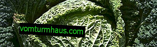Wirsingkohl: nützliche Eigenschaften und Kontraindikationen, landwirtschaftlicher Anbau