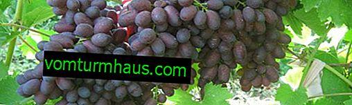 Karmakod druvsort: egenskaper, hemligheter för framgångsrik odling