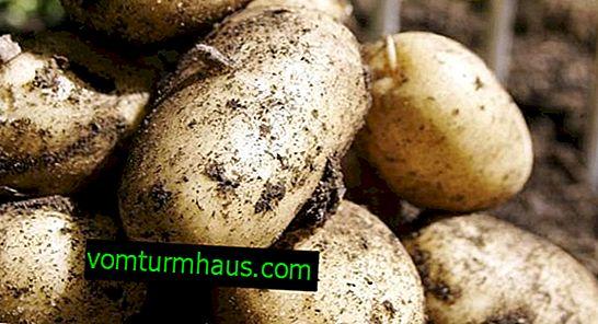 Potato varieties Lasunok: characteristics and methods of cultivation