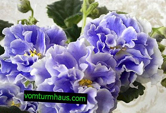 Violet Aquamarine: features of growing at home