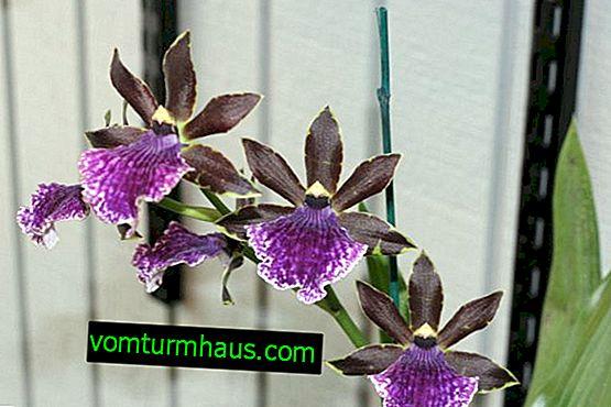 Orhideja oncidium: kućna njega
