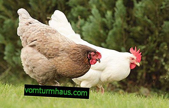 Wie man Hühner im Land züchtet und pflegt