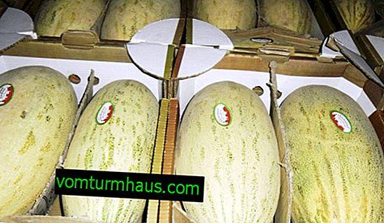 Hur och var är det bäst att lagra melon hemma