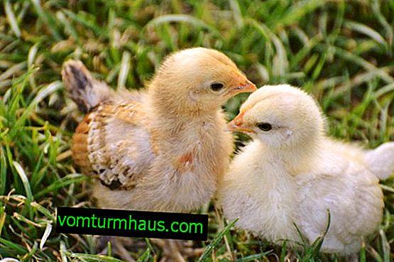 """""""Baytril"""": istruzioni per l'uso per il trattamento e la prevenzione dei polli"""