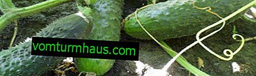 Sådan bindes agurker i et drivhus: bedste praksis