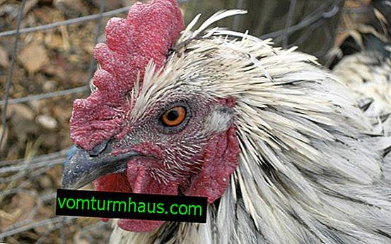 Proč kuřata kýchají, sípají, kašel: příčiny, léčebné metody