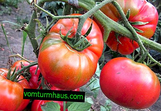 """Tomat """"Sugar pudovichok"""": beskrivning och funktioner för att odla sorten"""