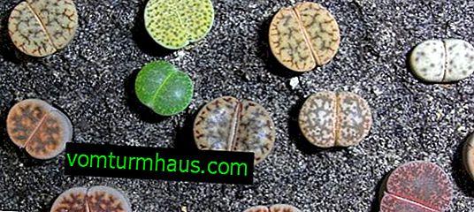 Hur man planterar lithops från frön