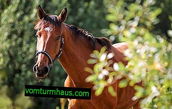 Trakenen hästar: rasbeskrivning, innehåll funktioner